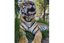 Big yawn for Tiger at Jukani